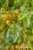 Powdery Mildew disease on Gold Nugget cherry tomatoes