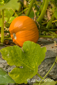 Pumpkin growing in a raised bed garden