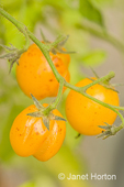 Close-up of Gold Nugget cherry tomatoes growing with a split in them