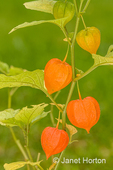 Physalis alkekengi (Bladder cherry, Chinese lantern, Japanese lantern, Winter cherry), is  easily identifiable by the larger, bright orange to red papery covering over its small fruit, which resemble paper lanterns.