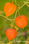 Physalis alkekengi (Bladder cherry, Chinese lantern, Japanese lantern, or Winter cherry), is  easily identifiable by the larger, bright orange to red papery covering over its small fruit, which resemble paper lanterns.