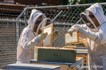 Female beekeepers exchanging an empty frame for a fully capped frame in a honey super