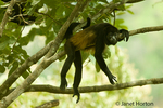 Mantled Howler Monkey lazing about in Monteverde National Park, Costa Rica