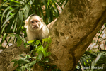White-faced Capuchin Monkey seen on a boat ride on the Tempisque River