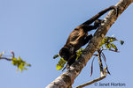 Mantled Howler Monkey climbing about in the trees beside Pachira Lodge