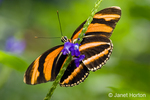 The Oak Tiger or Banded Orange Heliconian butterfly is found from Texas to Brazil