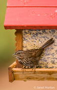 Song Sparrow sitting on seed feeder in western Washington, USA