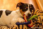 Four month old puppy, Jersey, chewing on appropriate toy