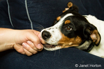 Four month old puppy, Jersey, nipping his owner's finger