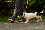Four month old puppy, Jersey, walking on leash nicely