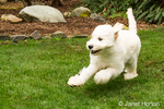 Five month old Goldendoodle, Chinook, running with a smile on her face, in the backyard