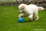 Five month old Goldendoodle running in the backyard, playing with a soccor ball