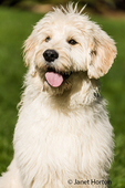 Five month old Goldendoodle panting after lots of playtime, looking very happy with a smile on her face