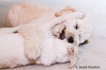 Five month old Goldendoodle and nine month old Goldendoodle/terrier mix hugging each other after rough-housing together previously