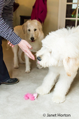 Five month old Goldendoodle and nine month old Goldendoodle/terrier mix being taught the