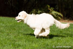 Five month old Goldendoodle running in the backyard