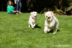 Five month old Goldendoodle and nine month old Goldendoodle/terrier mix running together outside in their backyard