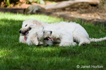 Five month old Goldendoodle and nine month old Goldendoodle/terrier mix collapsed on each other, panting, after romping in the backyard
