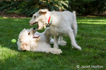 Five month old Goldendoodle and nine month old Goldendoodle/terrier mix romping together outside in the backyard