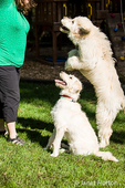 "Five month old Goldendoodle and nine month old Goldendoodle/terrier mix being taught to ""jump"" in the backyard"