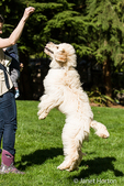 "Five month old Goldendoodle being taught to ""jump"" in the backyard"