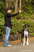 Six month old Great Dane puppy, Athena, ignoring her owner during a training session
