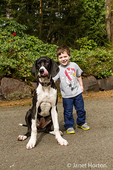 Three year old boy petting his xix month old Great Dane puppy, Athena