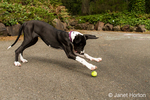 Six month old Great Dane puppy, Athena, pouncing on a tennis ball that was thrown for her