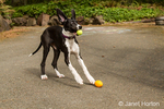 Six month old Great Dane puppy, Athena, looking very astonished as she catches a tennis ball, when another small football is also thrown to her