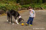 Three year old boy trying to distract his six month old Great Dane puppy, Athena, into playing with his football when the puppy already has a tennis ball