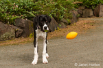 """""""Oh no, a ball in the mouth versus a ball in the air?"""", worries a six month old Great Dane puppy, Athena, in a quandary, with one ball in her mouth and another one flying by"""