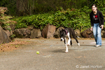 "Six month old Great Dane puppy, Athena, playing ""fetch"" with her owner"