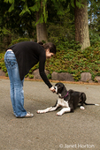 Six month old Great Dane puppy, Athena, being rewarded with a treat for performing a