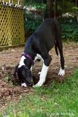 Six month old Great Dane puppy, Athena, digging a hole in her backyard