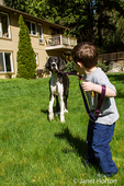 Three year old boy having a tug-of-war as he attempts to take his six month old Great Dane puppy, Athena, for a walk in his backyard
