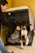 Woman releasing her six month old Great Dane puppy, Athena, from her crate
