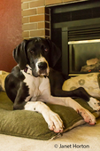 It's rest time by the fireplace at last after an active morning of play for six month old Great Dane puppy, Athena