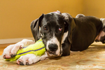 """""""Ah, the joy of a good chew toy"""", says six month old Great Dane puppy, Athena, inside her home"""