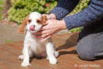 Mandy, an 11-week old Cavalier King Charles Spaniel puppy, licking her nose, after just arriving home for the first time