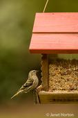 Female Pine Siskin on bird feeder