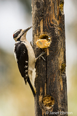 Male Hairy Woodpecker eating from a log suet feeder