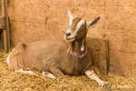 Alpine dairy goat in the barn