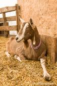 Alpine dairy goat in a barn