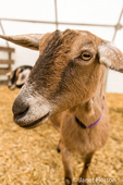 Alpine dairy goat at Dog Mountain Farm