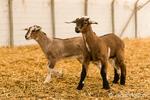 Alpine dairy goat kids at Dog Mountain Farm