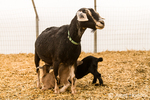 Alpine mother dairy goat nursing her kids at Dog Mountain Farm