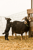 Alpine mother dairy goat and kid at Dog Mountain Farm