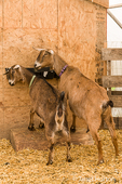 Alpine dairy goats eating at Dog Mountain Farm