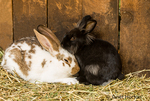Soft, furry bunnies at Fox Hollow Farm
