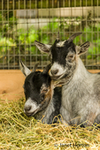 Two young pygmy goat kids snuggled up at Fox Hollow Farm